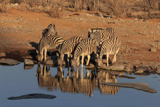 Zebras drinking water at sunrise